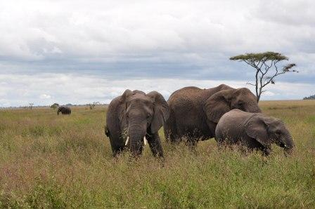 Elephants: They are easily spotted