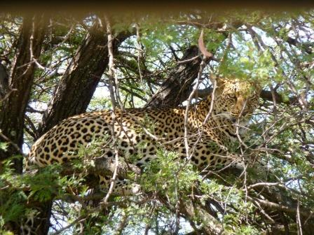 Leopard in a tree - hard to spot even if close