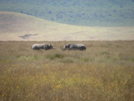 Rhinos are hard to spot because there are so few of them