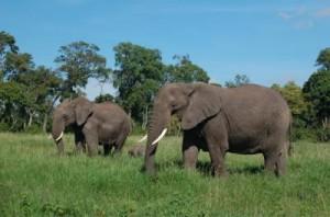 Mama, Baby, Daddy Elephant