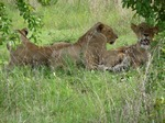 lions in Selous