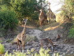 Giraffes at River