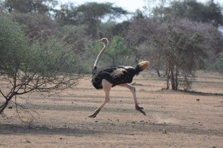 Ostrich - always running or head in the sand