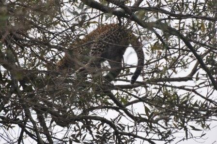 Almost perfect camouflage - baby Leopard in tree