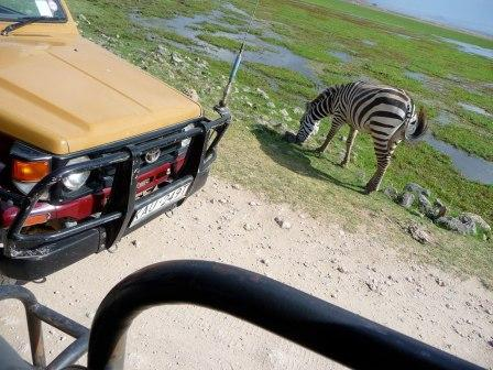 Most animals are close like this zebra