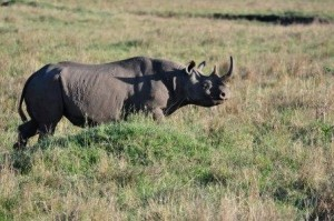 Saw the last day the elusive Rhino
