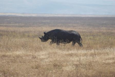 The black rhinoceros falls under the 'Critically Endangered' On the IUCN Red List of Threatened species.