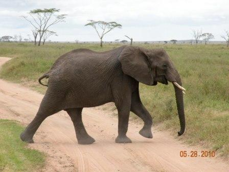 African Elephant - threatened by mans want of their ivory tusks.