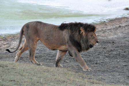 Lion at Lake Manyara, Tanzania Africa