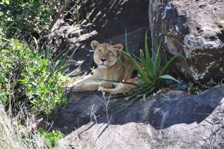 Lioness resting just before mating