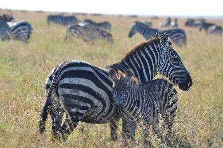 Mom and baby zebra on  the Serengeti - Tanzania, Africa