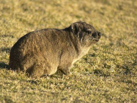 Cape/ Rock Hyrax: Image credit/click for wikipedia