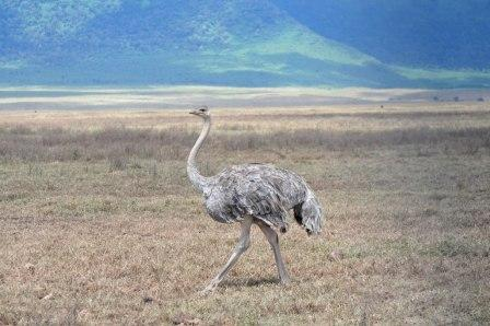 Ostrich I think of Australia, but this is Tanzania, Africa