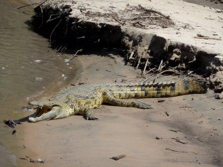 Nile Crocodile - the most dangerous of crocodiles in Africa