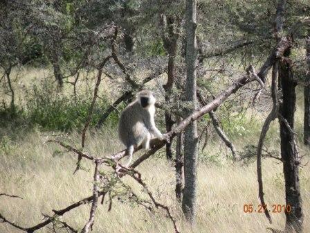Vervet Monkey taken in Tanzania, Africa, June 2010
