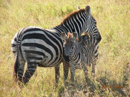 Mom and baby zebra taken in Tanzania, Africa May/2010
