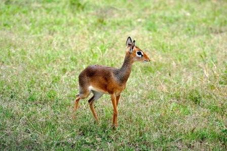 Dikidiki a small antelope