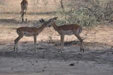 mom and baby impala