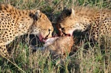 lions in Kenya eat dinner