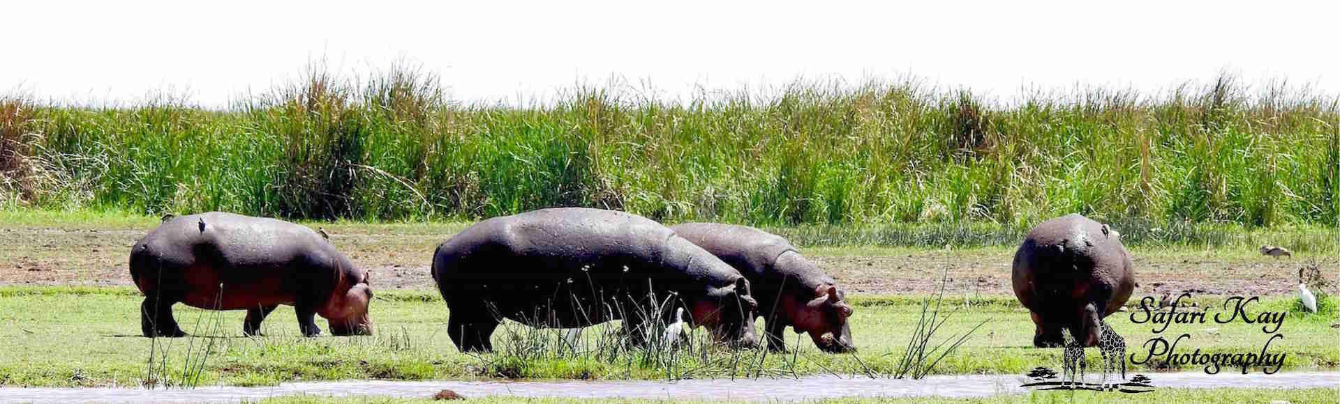 Hippos  lazily  grazing