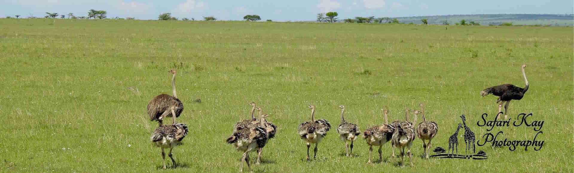 An  ostrich  family