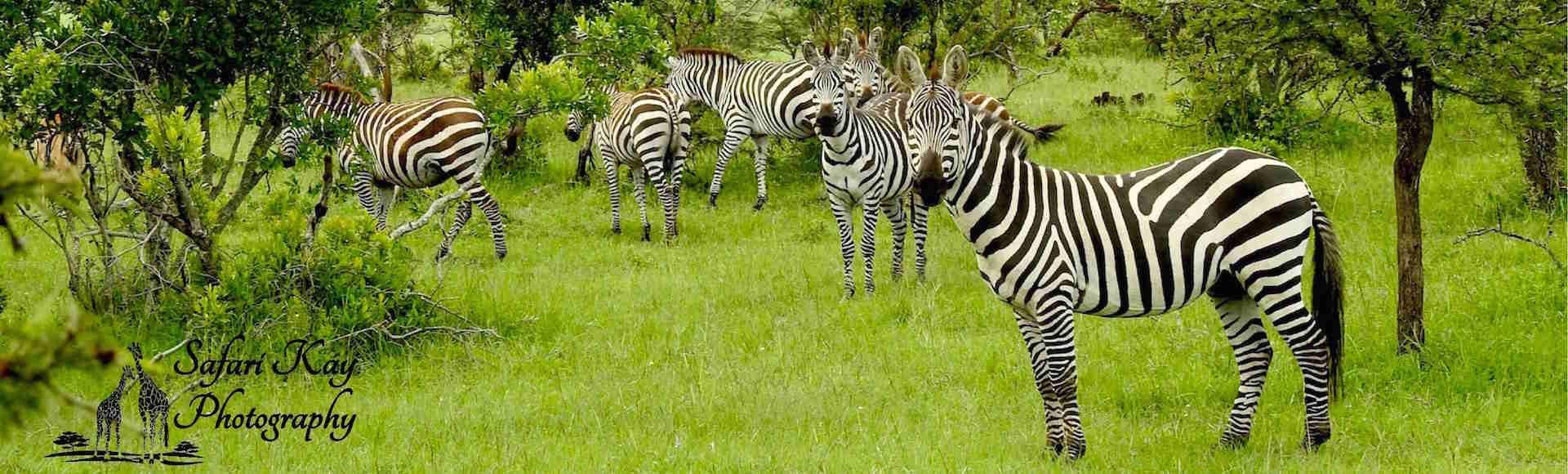 A  zebra  Dazzle