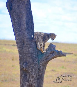 Baby Cheetah Stuck in a Tree